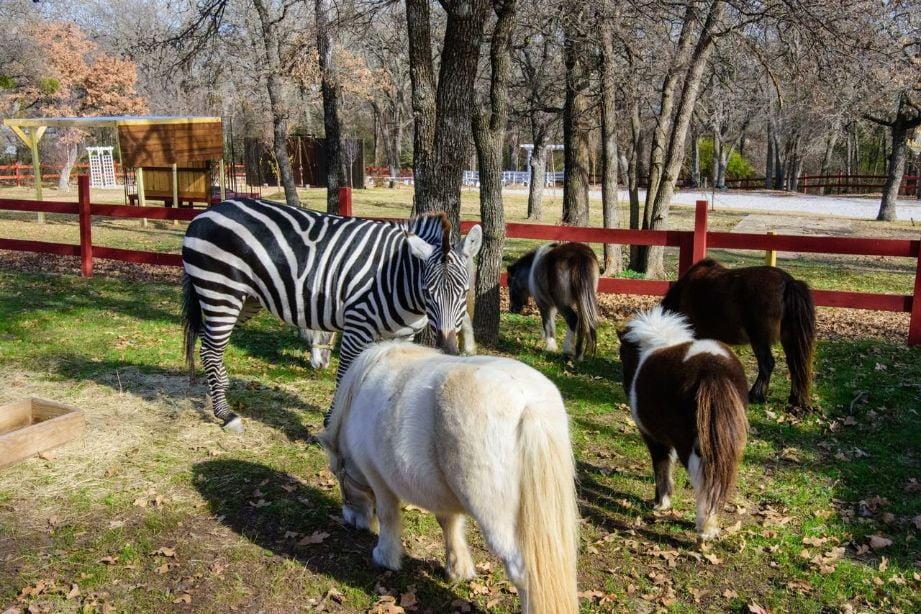 zebra fort wort county memories