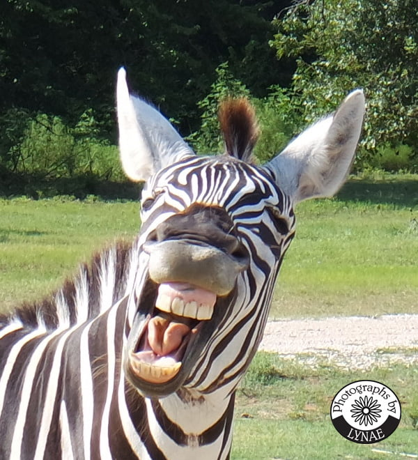 zoe zebra fort worth country memories